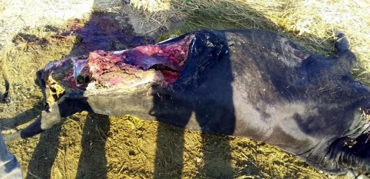 Garrote é abatido por bandidos em propriedade rural e parte da carne do animal é levada