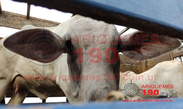 Caseiro de sítio é preso em flagrante furtando gado de propriedade rural na BR-364, em Ariquemes